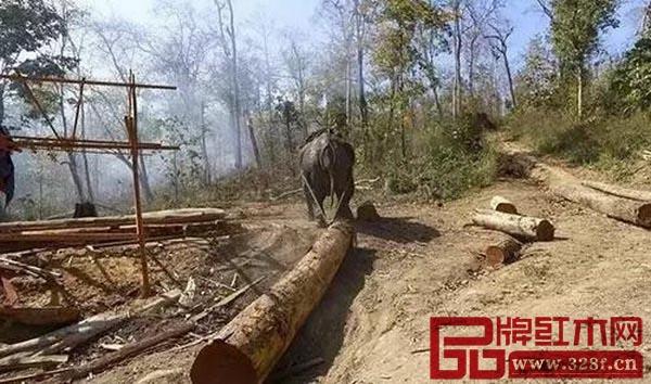 缅甸老红木树图片